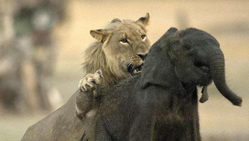 狮子围攻小象,场面震撼,镜头记录全过程