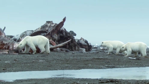 熊妈妈带着自己的宝宝,上岸后看到这一幕,吓得直往海里逃!
