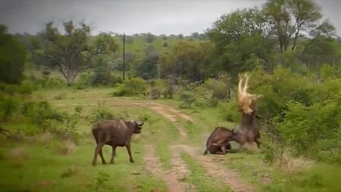 野牛群找狮子报仇,将狮子杀了个片甲不留,镜头拍下精彩一幕!