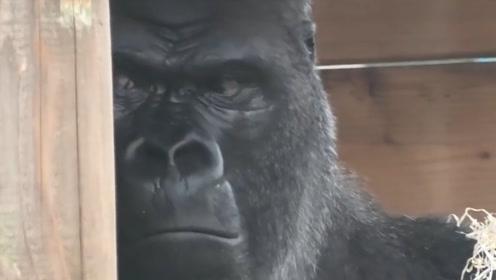儿子太烦人了咋办,银背大猩猩:你要不是我亲生的,我早就揍你了