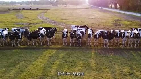老外每天去给牛演奏音乐,如今一头牛卖10万,牛肉被大量抢购