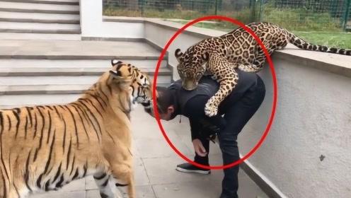 豹子背后偷袭饲养员,老虎上去就是一耳光:你把他吃了谁养我?