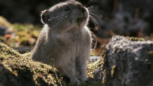 这种兔子比大熊猫还稀少,个头和老鼠差不多,经常偷吃雪莲!
