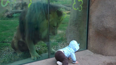狮子隔着玻璃想偷袭宝宝,当宝宝转身那一刻,接下来一幕忍住别笑