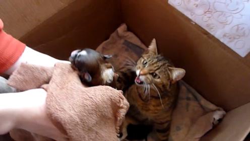 刚出生的小奶狗放进了猫窝,会发生什么呢?画面很暖心哦