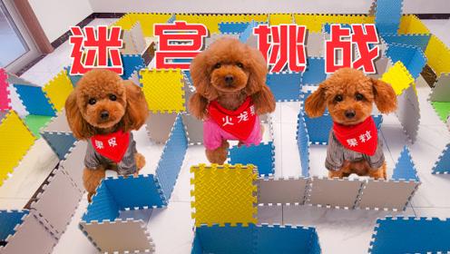 3只狗狗挑战大型迷宫,难度太大瞬间懵圈,最后气得破墙而出!
