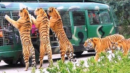 野生动物园里老虎突然发怒,可怜了这一车的游客!