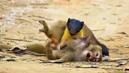 黄鼠狼的战斗力到底有多强?看看它和猴子干仗,招招击中要害!