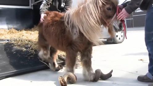 主人将宠物马关了15年,马蹄3米长毛发盖过脸,看完让人心疼