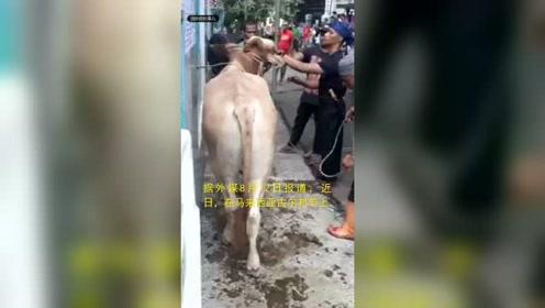 隔着屏幕都感到疼 男子杀牛庆祝结果却悲剧了