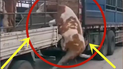 牛儿一激动,一脚从车上滑下来,太搞笑了!