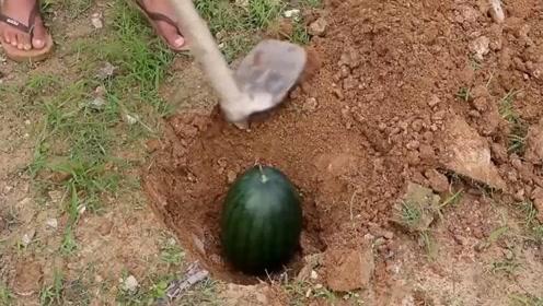 """种瓜得瓜?男子将西瓜埋土里,1个月后,竟收获意外""""惊喜"""""""
