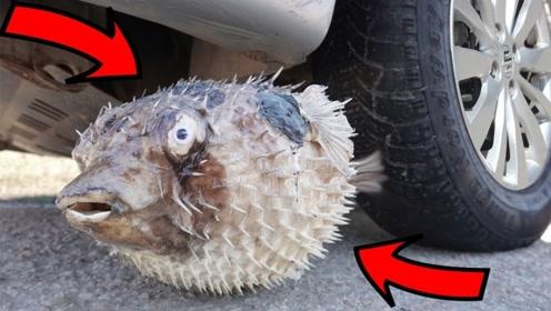 河豚到底有多强大?在汽车轮胎的碾压下,都能完美的躲过