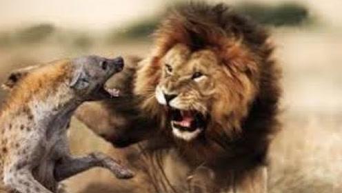 """打残却不打死,狮子给鬣狗施加精神""""折磨"""",镜头记录悲惨全程"""