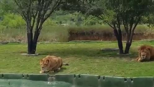 游客动物园观赏狮子,母狮控制不住野性扑向游客,下秒请憋住别笑