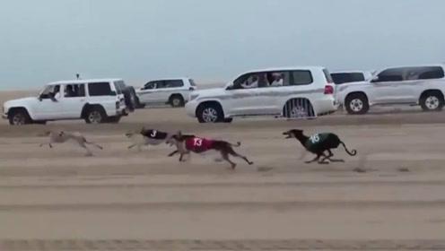 汽车都追不上的狗狗见过吗?阿拉伯土豪沙漠赛狗,二哈简直没法比