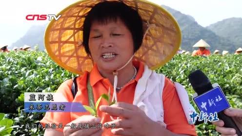 广东1128人同时采茶创世界纪录