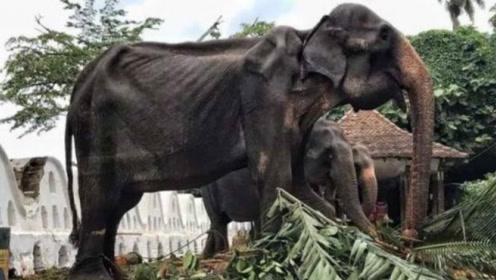 斯里兰卡传统节日上,大象骨瘦如柴还得每天巡演,看完让人痛心!