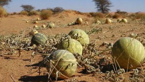游客在沙漠发现大西瓜,刚想去摘,导游就怒斥:想死就去摸!