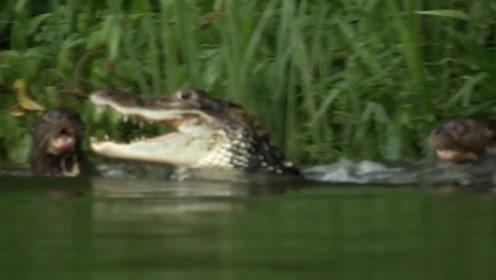 鳄鱼袭击幼崽,愤怒的水獭一家奋起反抗,结果会怎样