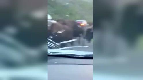 游客租车自驾游黄石公园 被野牛撞坏车前盖
