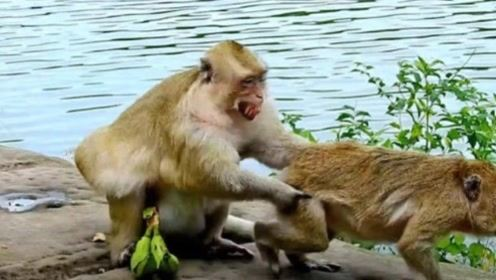 公猴帮母猴捉虱子,捉着捉着就尴尬了,镜头记录全过程!