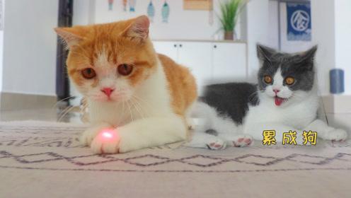 一支激光笔逗疯10只猫 小奶猫墙壁上飞奔