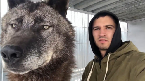 它是世界上最大的狼,身长2米能秒杀藏獒,却被战斗民族当宠物
