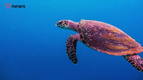 海龟壳里面的身体究竟长什么样子