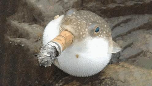 丧心病狂老外给河豚抽中华烟,3秒后河豚彻底嗨了,场面直接失控