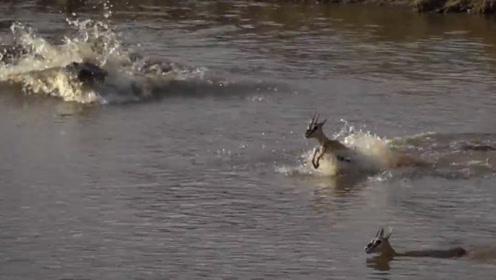 小羚羊被鳄鱼盯上,羚羊妈妈故意放慢脚步,牺牲自己救下孩子
