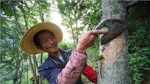 """这种树会""""咬人"""",农民见了就砍,如今变成""""摇钱树"""""""