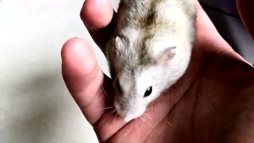 萌宠 体验一下被小仓鼠啃手指头的感觉,痛并快乐着!