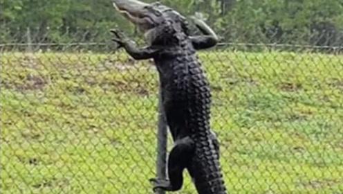 活久见!鳄鱼攀爬围栏翻墙不在话下 网友:可以参加爬山锦标赛了