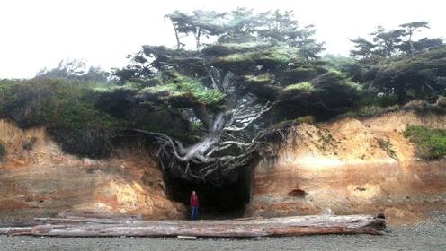 世界上最顽强的树,悬空在两座山中间,几百年间是怎么活下来的
