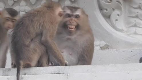 猴子闯入民宅,把两只猫咪带走了,猫妈根本来不及追!