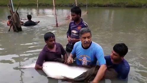 池塘不大,里面全是一两百斤的大鱼