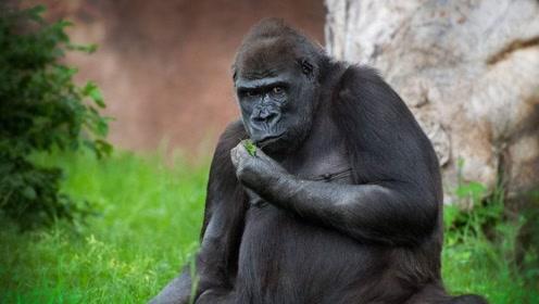 艾滋病始祖黑猩猩,如何传染给第一个人类的?听了你可能不信