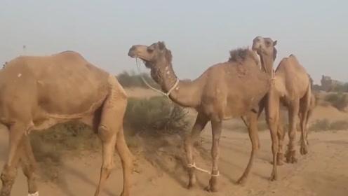 渴死的骆驼千万不能碰,非洲小伙偏偏不信,下一秒悲剧了