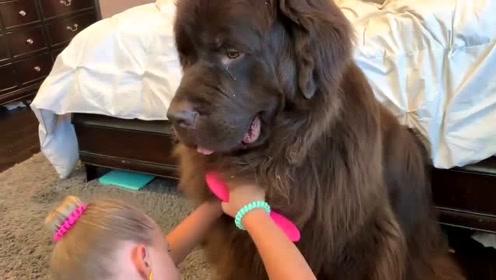 小主人给纽芬兰大狗梳理毛发,狗狗好乖一动不动的