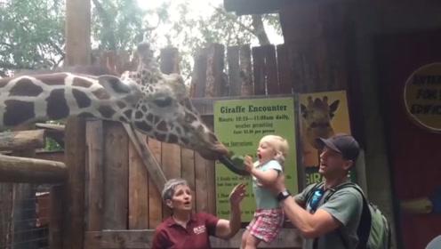 萌娃给长颈鹿投食,不料被长颈鹿的大舌头吓得懵圈大哭,好可爱