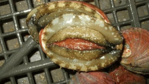 2000块一只的大鲍鱼,顶级厨师切开后都瞪大眼睛!太嫩了
