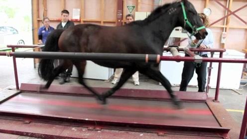 马儿在跑步机上奔跑是什么样子?镜头记录全过程,仔细看别眨眼