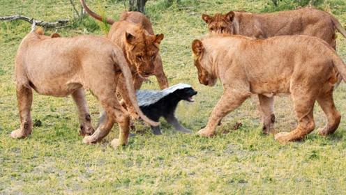 世界上最胆大的动物,连狮子老虎都不放在眼里,看完后我彻底服了