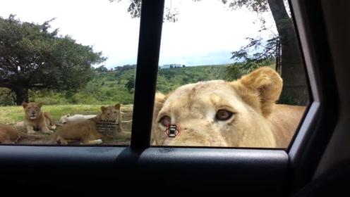 狮子咬开女子的车门,女子不知所措,镜头拍下全过程!