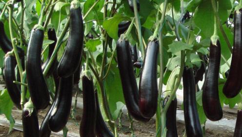 科普!经常吃一些茄子,人们的身体会有哪些变化?看完快告诉家人