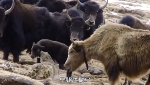 雪豹偷袭小牦牛,却遭到牦牛妈妈疯狂撞击,最后付出惨重代价