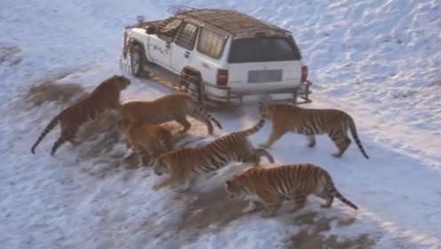 十几只老虎包围一辆汽车,司机仅用一个动作自救,老虎们纷纷离开