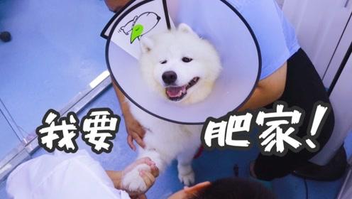 萨摩耶腿患肿瘤被主人带去医院手术,傻狗见医生不但不怂还超兴奋