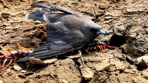 蜈蚣和鸟儿纠缠在一起,正打得难舍难分呢,下一秒意外发生了